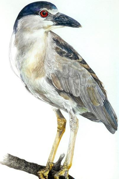 Black Crowned Night Heron (Nycticorax nycticorax) 2017