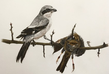 Northern Grey Shrike (Lanius excubitor) and Dunnock (Prunella modularis)