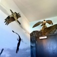 Osprey, Greater Black Backed Gull, Peregrine Falcon