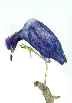 Little Blue Heron (Egretta caerulea) Adult 2017 purchased