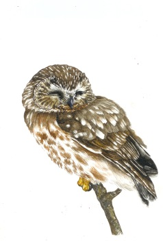 Northern Saw-Whet Owl (Aegolius acadicus) 2017