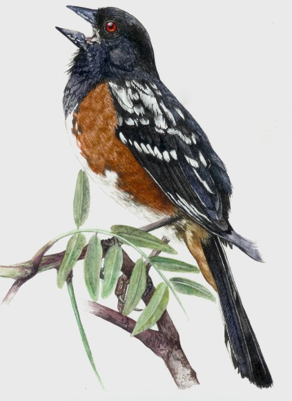 Spotted Towhee (Pipilo maculatus) Adult Male 2017
