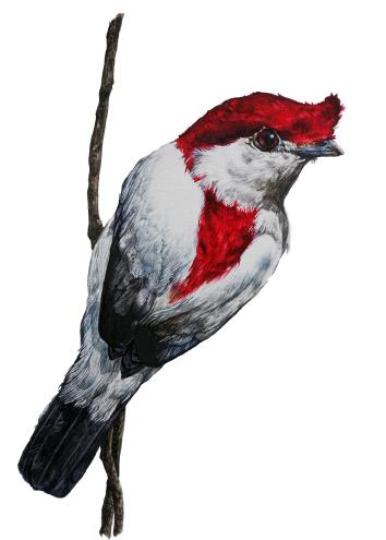 Araripe Manakin (Antiophia bokermanni)