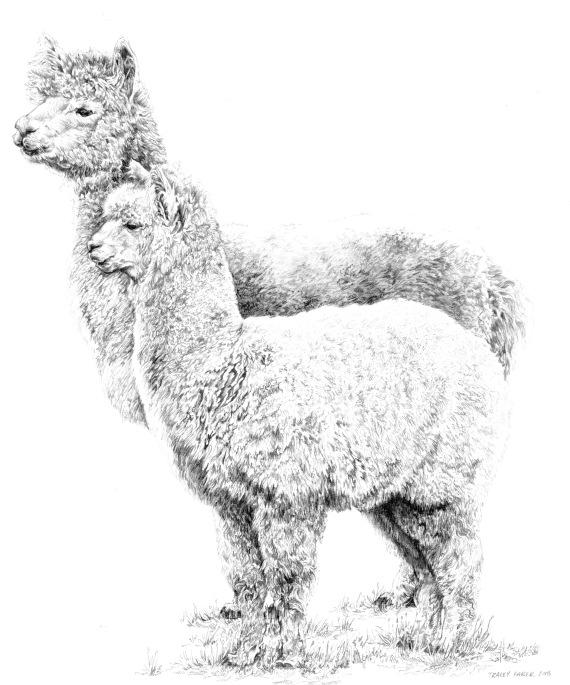 Alpacas 2018