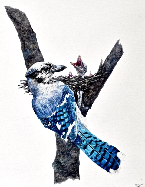 Adult Blue Jay and Nestlings (Cyanocitta cristata) 2019